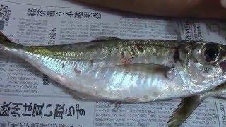 鎌倉カヤック釣りバカ日記(5/12)-30センチの大アジを連発、この通り② ...