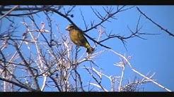 Evening Grosbeaks-Anza Trail-Santa Cruz County AZ-01/11/13