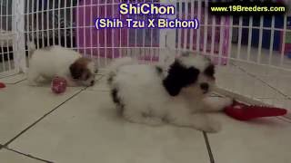ShiChon, Puppies, For, Sale, In, Badger, County, Alaska, Ak, Kink Fairview, College
