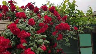 Ейск Огород Гигантская оса Розы