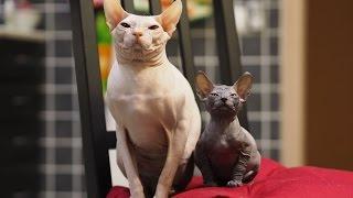 Смешные коты. Донские сфинксы прикольно кушают.