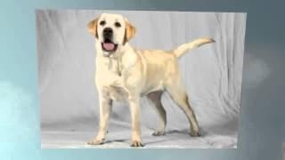 Labrador Retriever Temperament