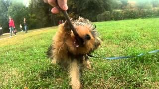 Цезарь йоркширский терьер Caesar Yorkshire Terrier(Прогулка юного Цезаря по парку. Хотите снять своему питомцу такой ролик? Обращайтесь http://vk.com/fauna_profi Музыка..., 2015-09-27T19:11:26.000Z)