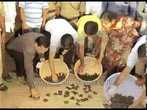 Olive ridley turtle hatchlings being released into sea at Visakhapatnam