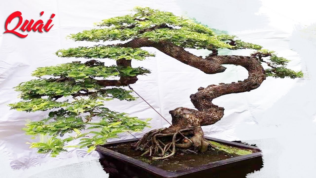 Ảnh cây bonsai - Bộ ảnh 300+ cây bonsai tuyệt đẹp không thể bỏ qua