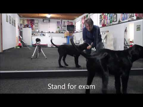 Flat-Coated Retriever puppy training