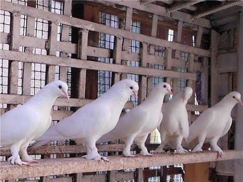 Бакинские голуби .