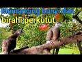 Panggilan Perkutut Lokal Jantan Dan Betina Birahi  Mp3 - Mp4 Download
