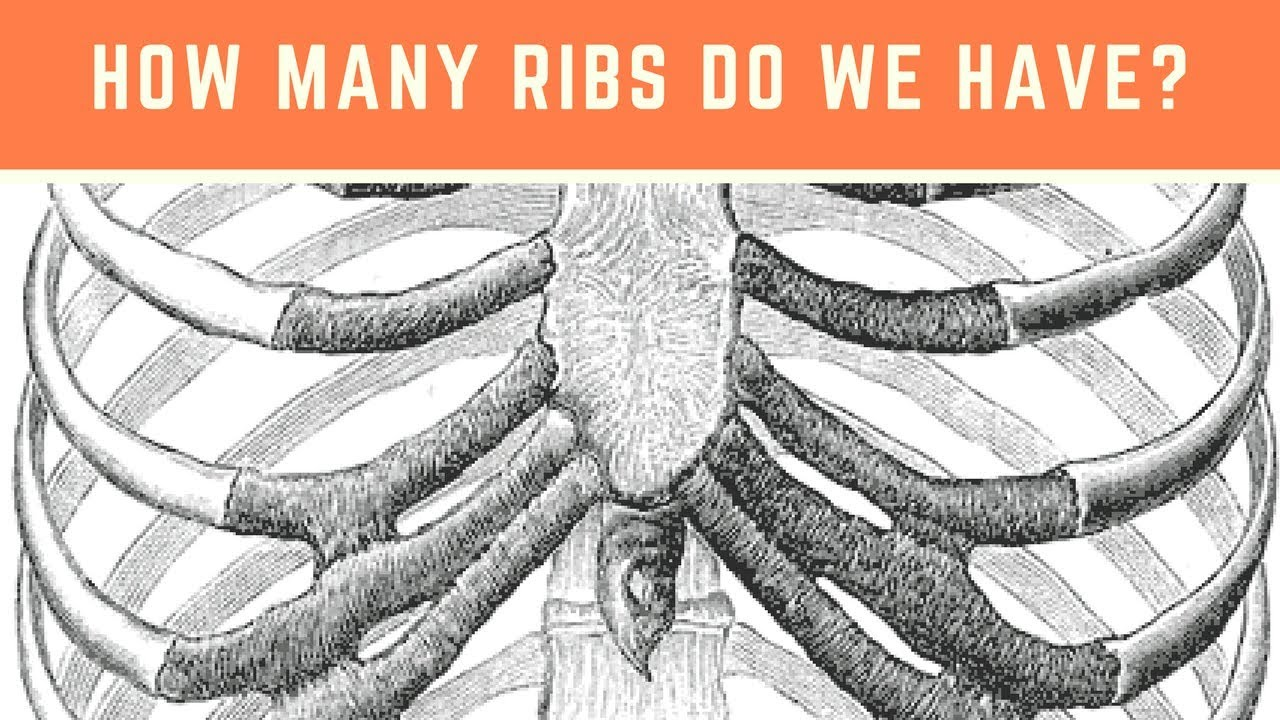 How many ribs does a person have