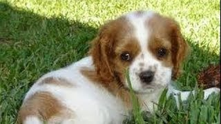 Cocker Spaniel, Puppies, For, Sale, In, San Jose, California, Ca, Ontario, Santa Rosa, Rancho Cucamo