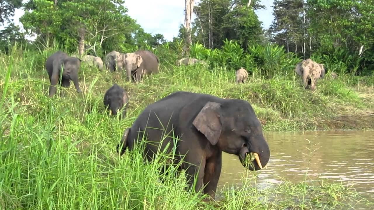 borneo pygmy elephant youtube