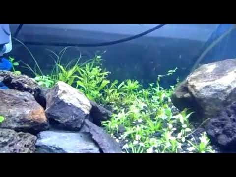Aquascape umur 7 hari tanpa co2 tanpa pupuk - YouTube