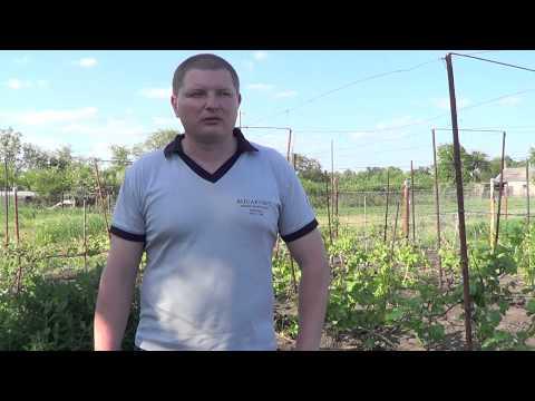 Вопрос: Почему в Беларуси плохо растёт виноград?