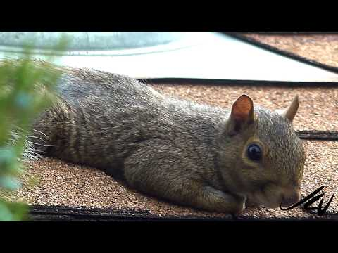 Cutest squirrel,  resting then getting squirrely - YouTube