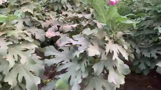 افضل طريقه ناجحه في زراعة اشجار التين في المناطق الحارة  fig trees