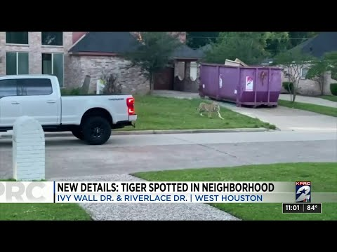 Tiger spotted on front lawn of home in west Houston neighborhood