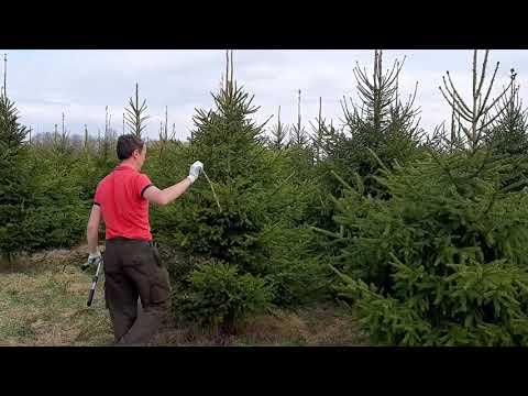 Обрезка деревьев видео онлайн бесплатно. Стрижка ели обыкновенной весной и осенью на питомнике.