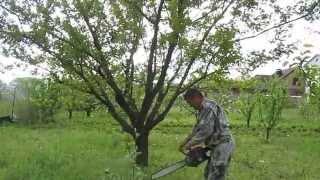 видео абрикос обрезка осенью