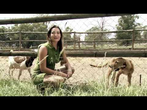 Wild Treasures examines the use of Livestock Guarding Dogs
