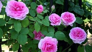 Best Way To Prune And Train Climbing Roses