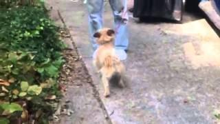 Lucy Border Terrier