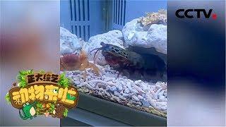 [正大综艺·动物来啦]判断题:视频中相手蟹的钳子断了之后还会再长出来| CCTV