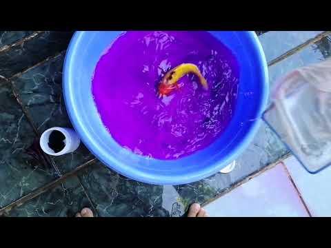 Cá Nhảy Vào Hút Mặt Lủng Tè Le - Đi Nhận Lô Cá Siêu Mập | Cá Koi Vlog Trần Đức Cường