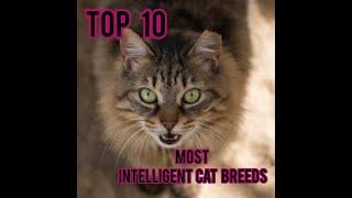 Top 10 most intelligent cat breeds