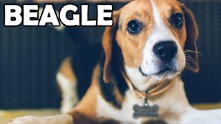 Beagle - Historia, charakter, aktywność i choroby - Rasy Psów #10