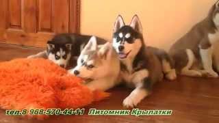 Щенки Сибирский Хаски (Клуб )  Wingsdog.ru