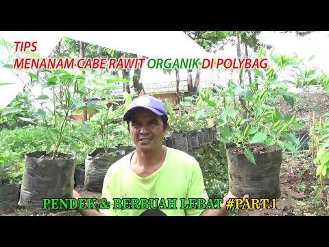 TIPS Menanam Cabe Rawit  Organik Di Polybag Agar  Berbuah Pendek Dan Lebat PART.1