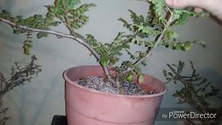 Frankincense Trees, and how I come to grow these amazing trees.
