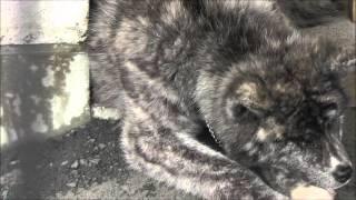 秋田犬会館の横に2頭の秋田犬がいました。