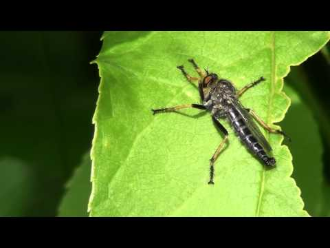 Robber Fly (Asilidae: Promachus) on Leaf