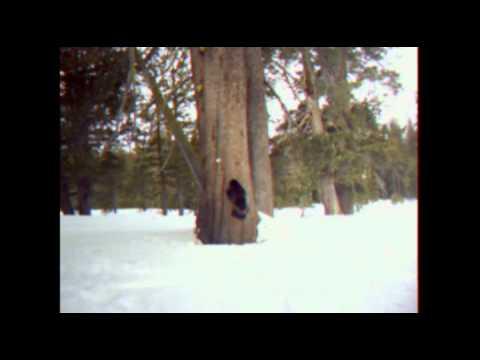 Buddy the Wolverine spottings in Sierra County, CA