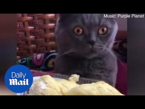 Hilarious moment cat FAINTS after smelling durian fruit - Daily Mail