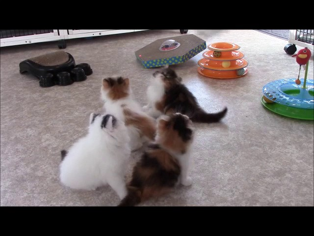 Persian Kittens Playing