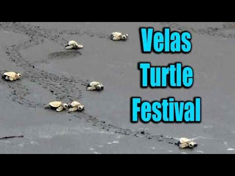 Velas Turtle Festival | Baby Olive Ridley sea turtles oceanic steps