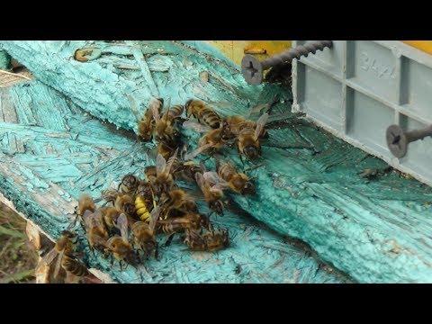 Бой не на жизнь а насмерть, пчёлы против осы