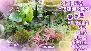 양재꽃시장 수경재배전문점 화수분 입니다 버킨.황칠나무.…