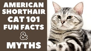 American Shorthair Cats 101 : Fun Facts & Myths