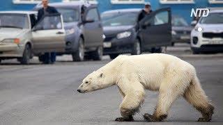 Полярный медведь забрёл в Норильск: животное истощено
