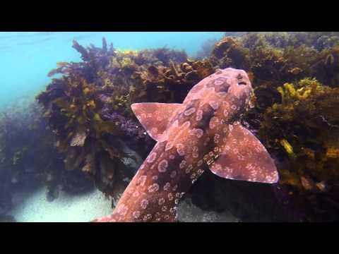 Underwater Sydney - Wobbegong Shark