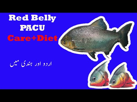 Red Belly Pacu Documentary|Care+Diet|Difference Between Pacu And Pirhanna