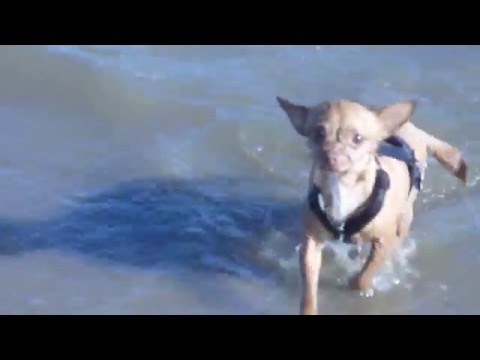 Chihuahua And Westie Dog Swimming In The Lake --Cute-- Perros Nadando En El Lago