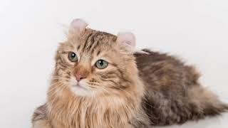 American Curl  Cat Breed  Pet Friend