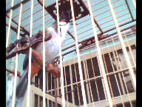 Chao mao Quang Ngai_Thorn Birds [ Dec ]