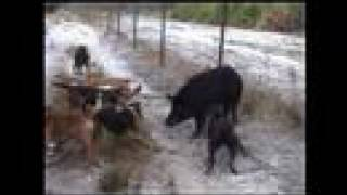 swine stoppers hog hunting