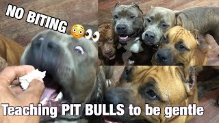 6 year old Teaching HULK XXL pitbulls to be gentle NO BITING NO FIGHTING