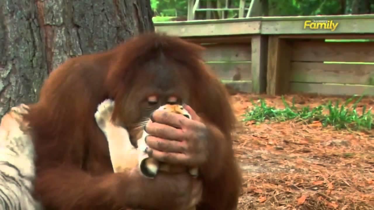 L'orang-outan Qui Adopte Des Bébés Tigres Décrypté Par Un Vétérinaire